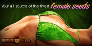 feminized marijuana seeds