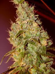 opium feminized cannabis seeds paradise