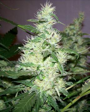 white widow seeds