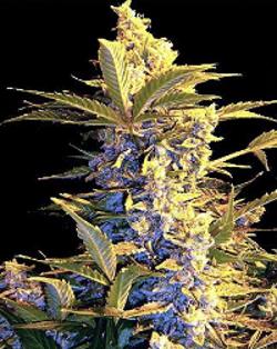 easy rider cannabis
