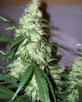 white window cannabis marijuana