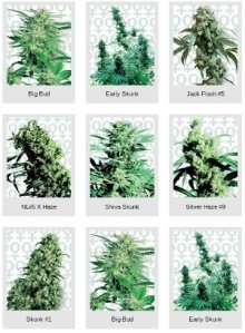 feminised cannbis seeds sensi seeds